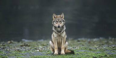 Abschuss des Problemwolfs
