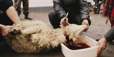 Schächten Schaf