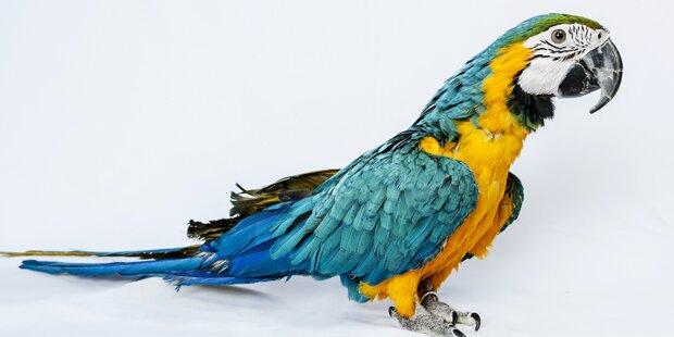 Pippi Langstrumpfs Papagei soll sterben