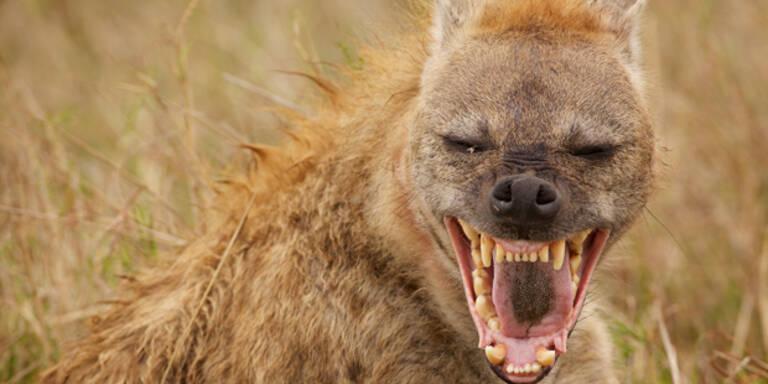 Hyäne zerrte Teenager am Gesicht aus Zelt