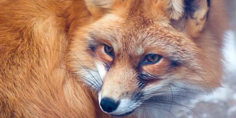 Junger Fuchs in Wohnung eingedrungen