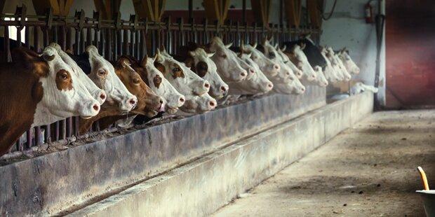 Kärntner Bauer ließ Rinder im Stall verhungern