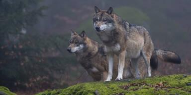 Wölfe Wolf