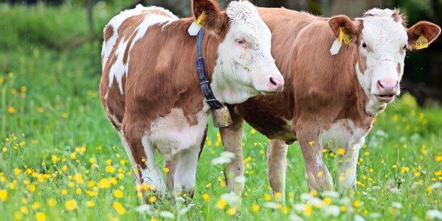 Frau von ausgebrochenen Kühen verfolgt