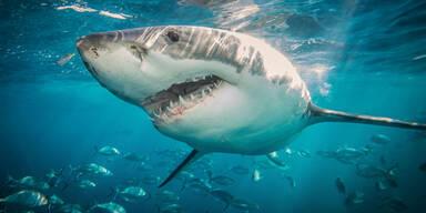 Hai Unterwasser Meer