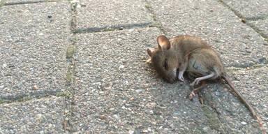 Hunderte Mäuse stürzten sich in den Tod