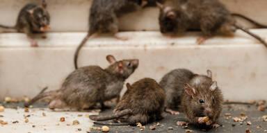 Gigantische Rattenplage im Rathaus von Los Angeles