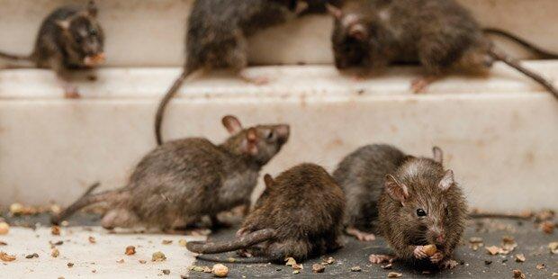 Schrei vor Schreck: Ratten-Invasion bei Zalando