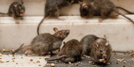 Baustellen und Hitzewelle lösen Rattenplage aus