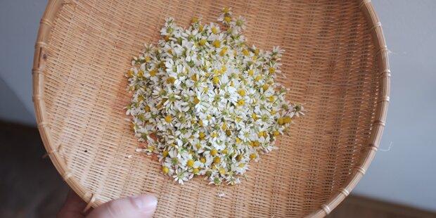 Migräne-Linderer ist Arzneipflanze 2017