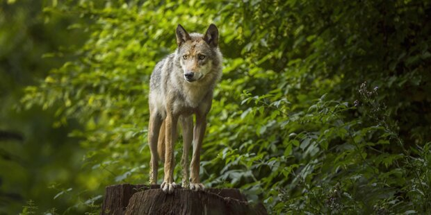 Kärntner Wolf seit Bescheid zur Vergrämung verschwunden