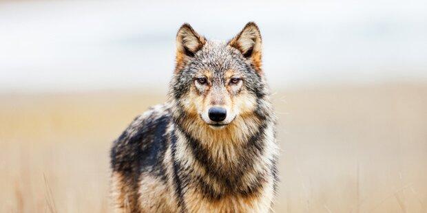 Wolf hält weiterhin Kärntner Behörden auf Trab