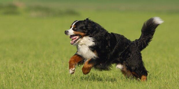 Sennenhund biss zum neunten Mal zu