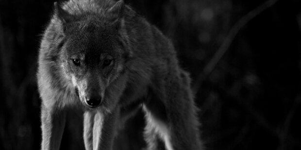 Ein Wolf geht im Tiroler Stubaital um