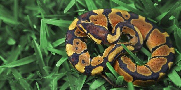 Mit Baby-Pythons in Socken ins Flugzeug - Festnahme