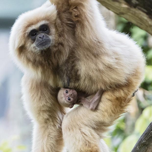 Gibbon Baby Schönbrunn