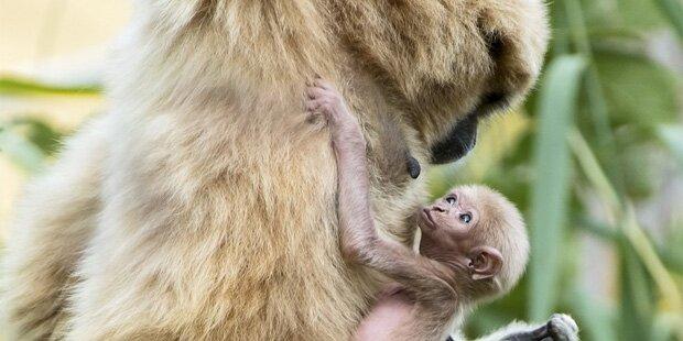 Neuer Besucherliebling: Gibbon-Baby geboren