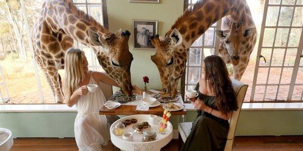 Giraffe Manor: Frühstück mit Giraffen