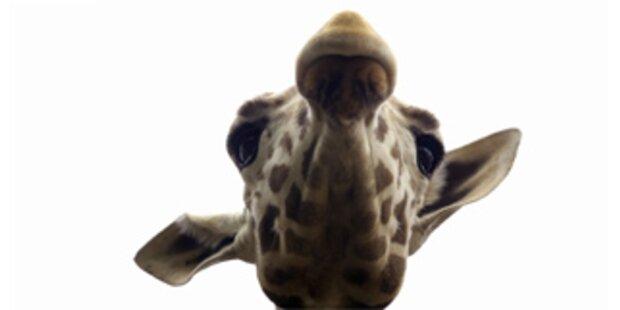 Giraffe in Simbabwe dem Kochtopf entronnen