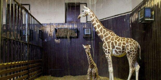 Nächtliche Randale: 2 Giraffen in Zoo tot