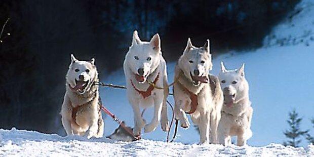 Österreich räumt bei Schlittenhunde-Sprint-EM AB