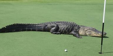 Hier läuft Alligator über Golfplatz