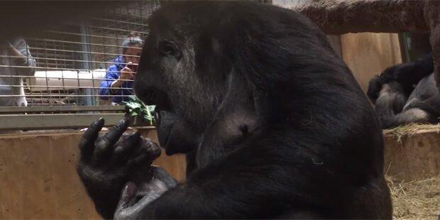 Süß! Gorilla-Mama küsst ihr Neugeborenes
