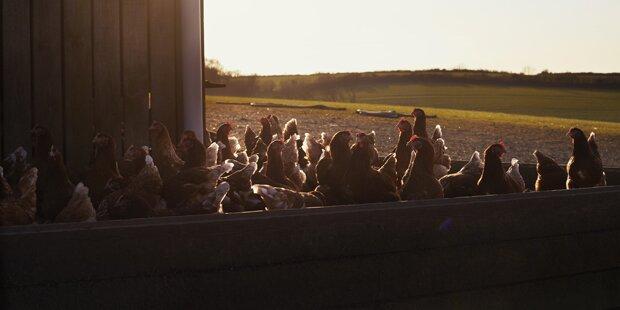 Mysteriöses Hühnersterben in Oberösterreich