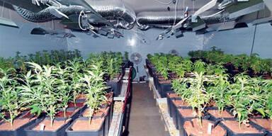 Cannabis-/Hanfplantage Scharndorf