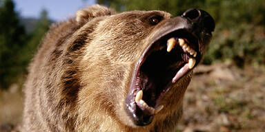 Braunbär Grizzly Angriff Attacke