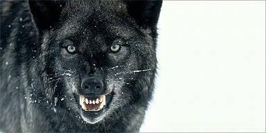 Wolf Aggressiv