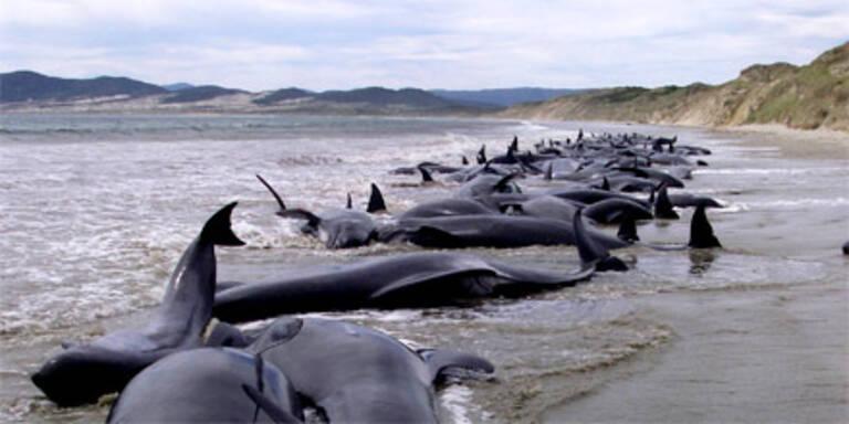 Australien: Rund 270 Grind-Wale gestrandet