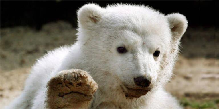 Süßer Knut war hirnkrank