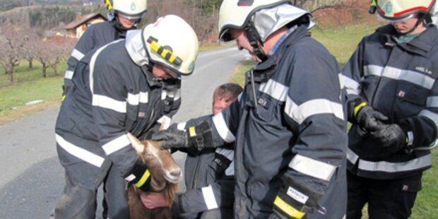 Feuerwehr jagte Schwein und Ziege