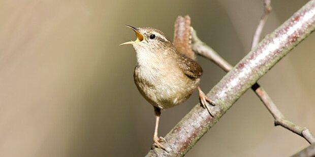 Was singen die Vögel da eigentlich jeden Morgen?