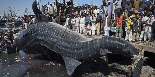 Riesiger Walhai-Kadaver angeschwemmt