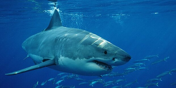 Wieder Hai-Attacke auf Surfer (16)