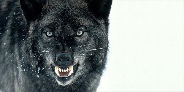 Wolf bricht aus deutschem Tierpark aus
