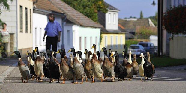 Gegen Raser: Enten statt Polizei