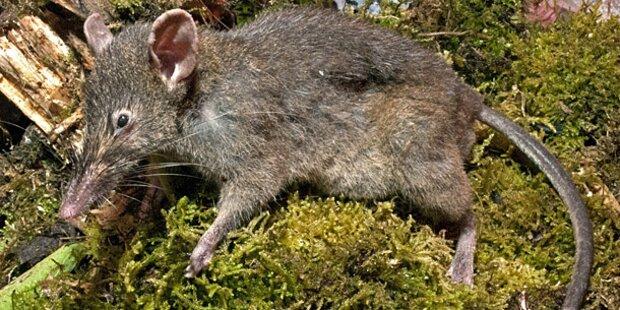 Fast zahnlose Ratte lutscht Regenwürmer