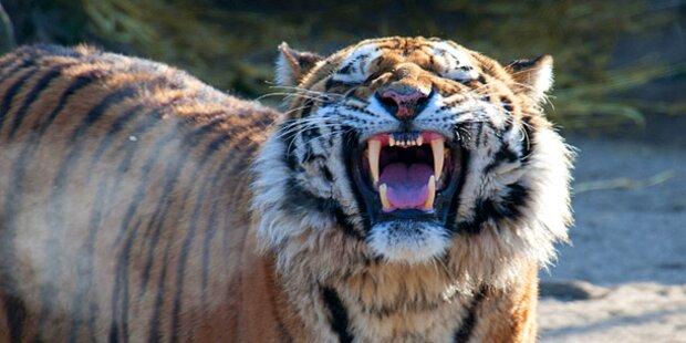 Tiger attackieren Mann in New Yorker Zoo