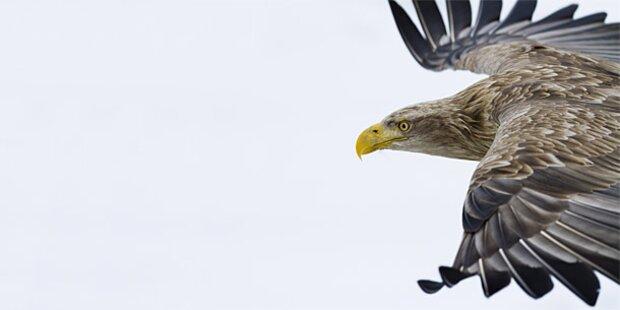 Tier-Drama in NÖ: 11 Seeadler vergiftet
