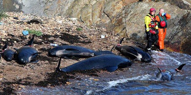 Dutzende Wale stranden in Schottland