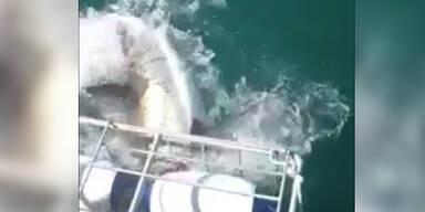 Weißer Hai durchbricht Taucherkäfig