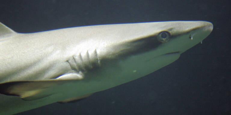 Hai springt an Deck und fällt Fischer auf Boot an