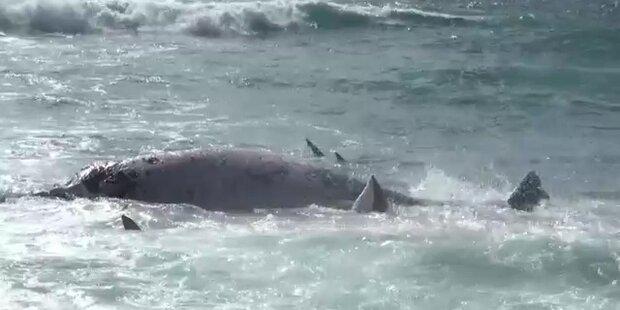Haie zerreißen Wal im Fressrausch