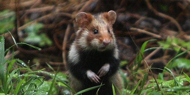 Hamster bewegt sich drei Tage nicht – das ist der irre Grund