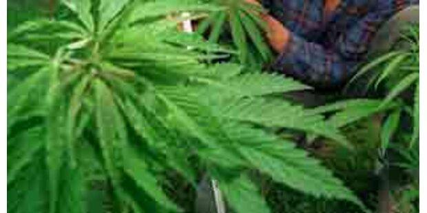 Hanfplantage im Bezirk Gmunden aufgeflogen