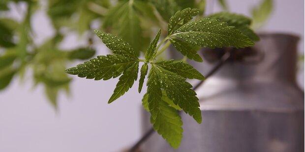 38 Cannabispflanzen in Tiroler Garten gefunden