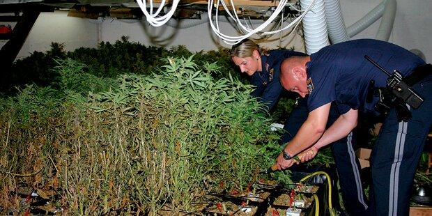Katzen fraßen illegale Cannabis-Plantage auf
